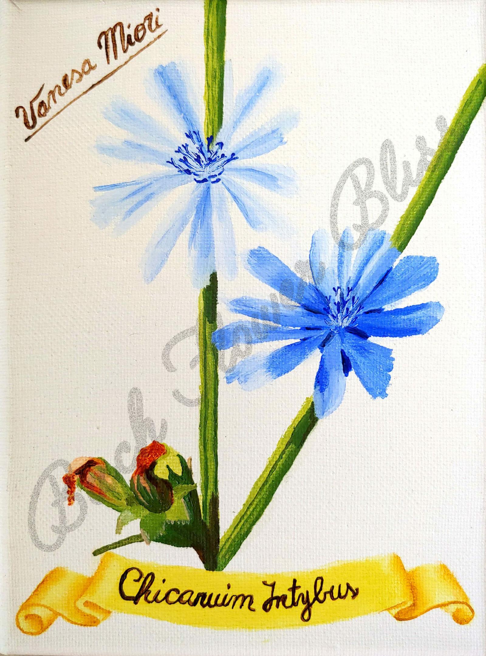 Chicory flower Friday